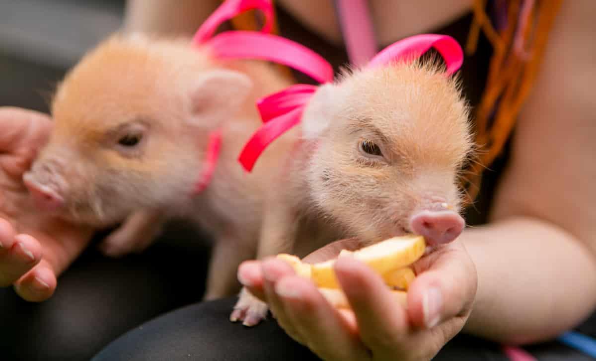 Pessoa alimentando mini porcos no colo.