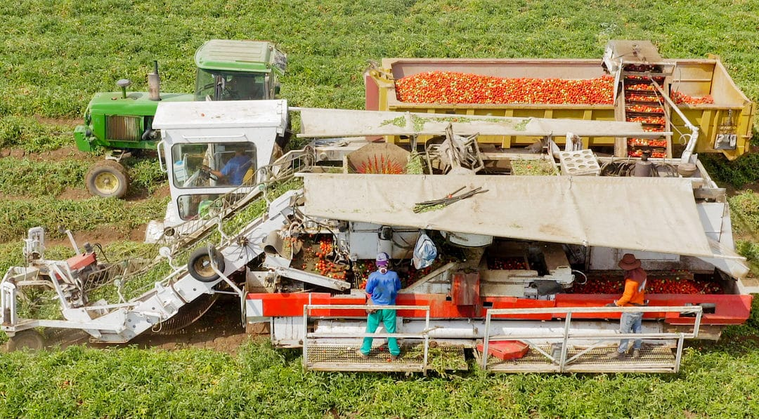 Colheita mecanizada de tomate vista por cima