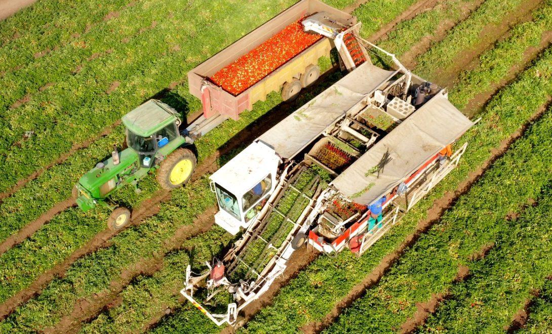 Colheita mecanizada da lavoura de tomate industrial