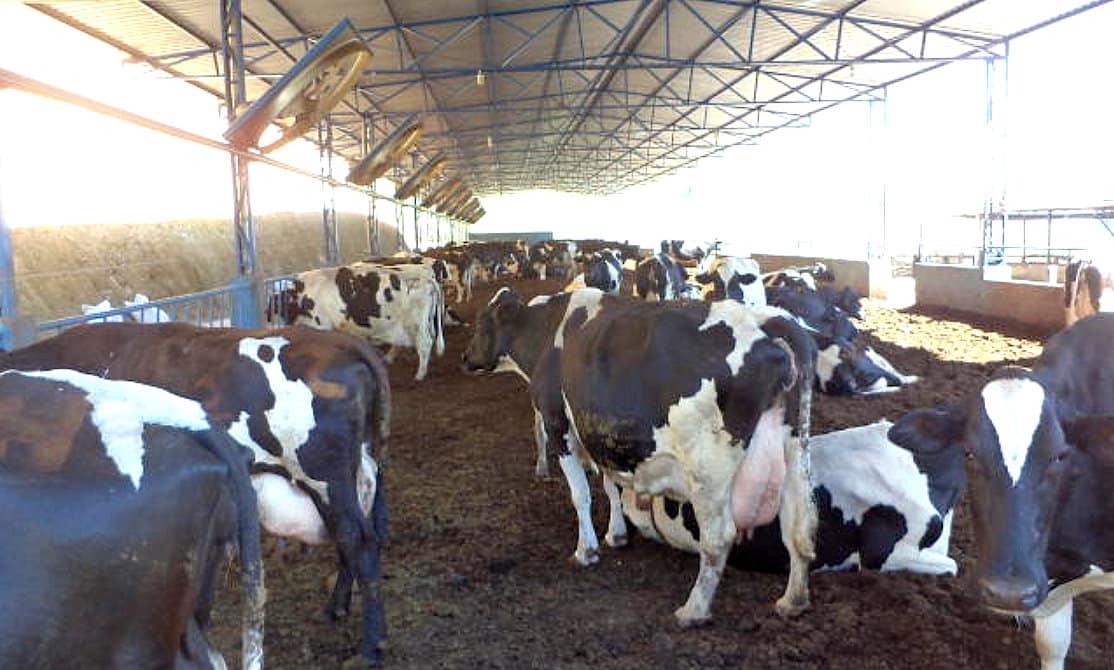 Confinamento de vacas no sistema Compost Barn