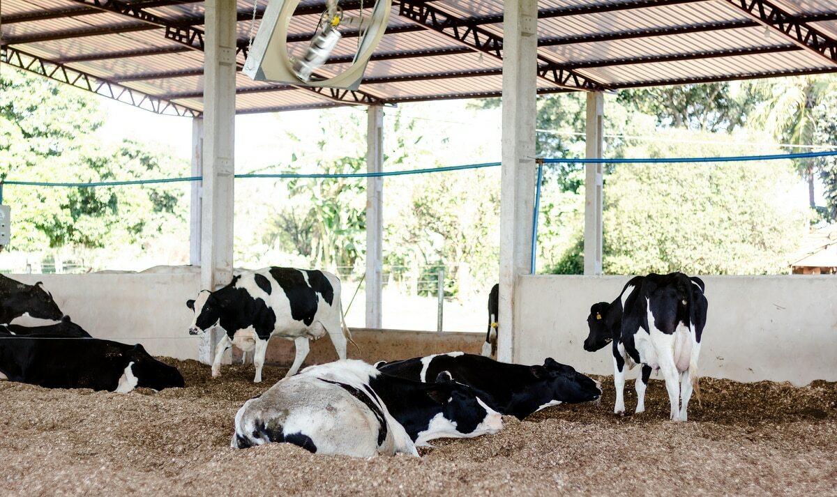 Vacas descansando em baias de confinamento