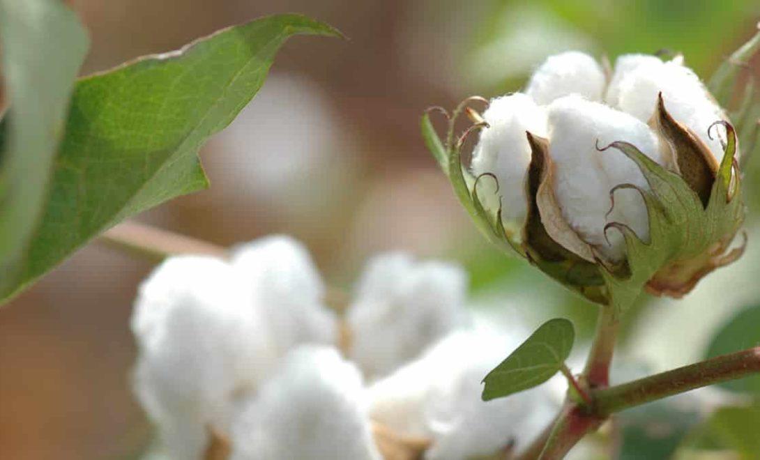 Melhores técnicas para aumentar a produção de algodão