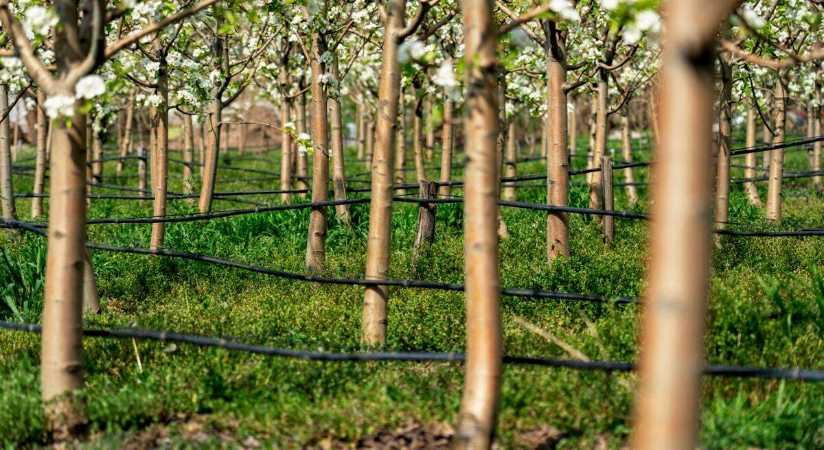 Sistema de irrigação por gotejamento em árvores frutíferas