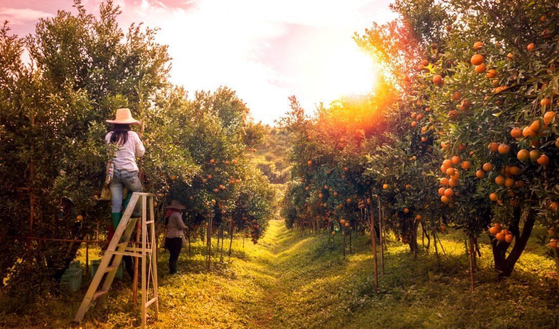 Árvores frutíferas: espécies, mudas e cuidados