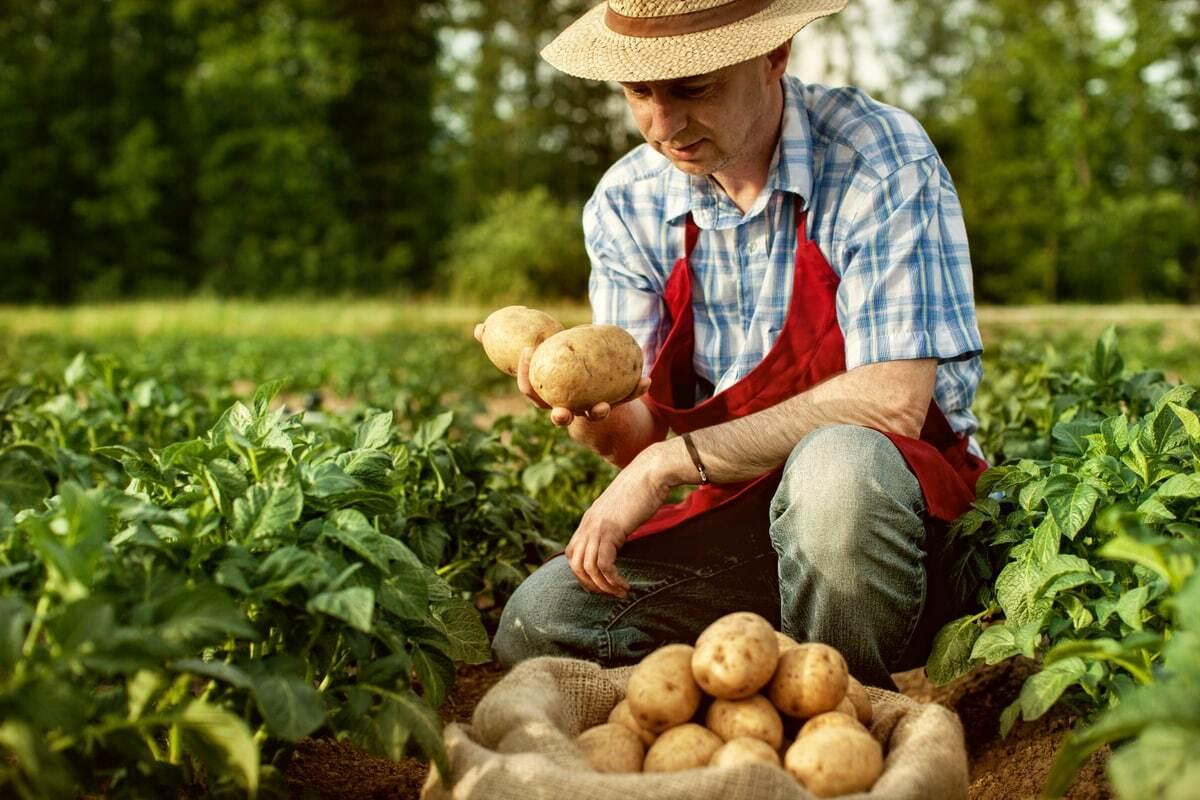 Agricultor segura algumas batatas em sua lavoura