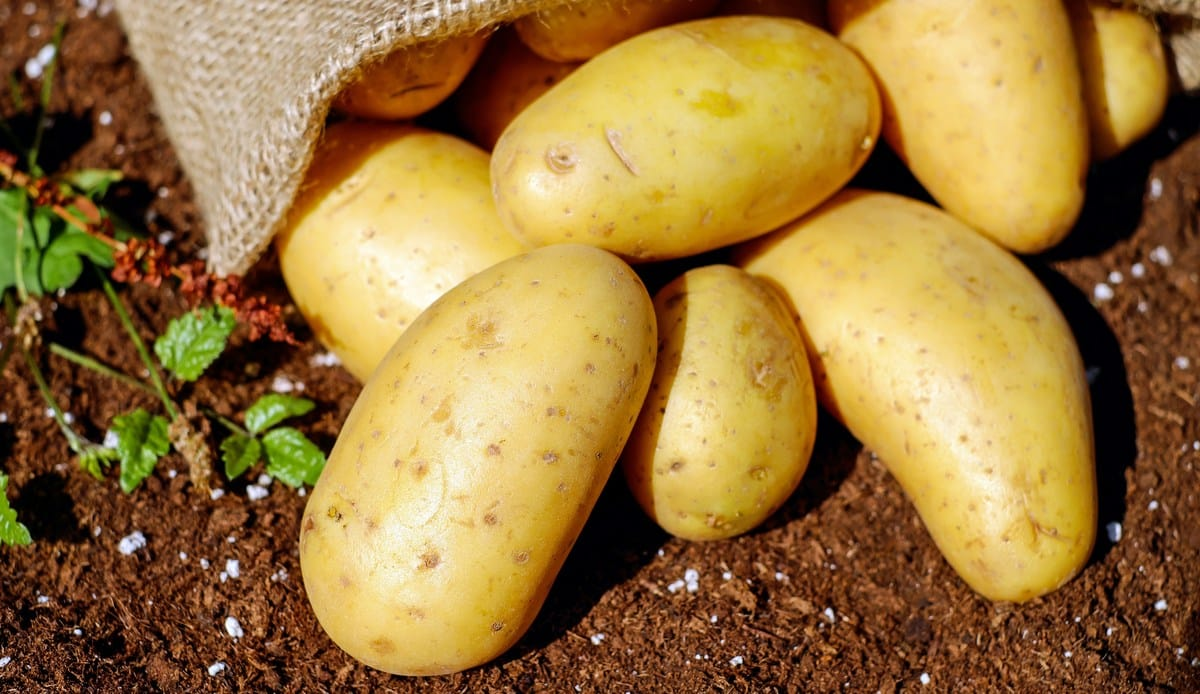 Produção de batata ainda na lavoura