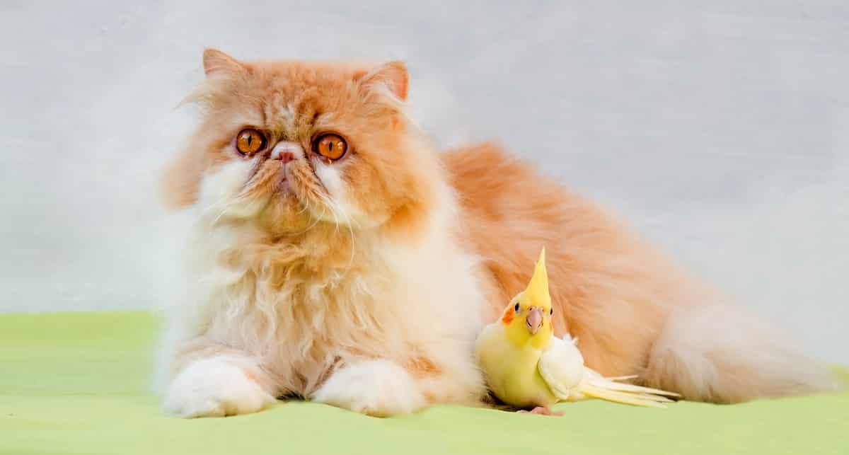 Calopsita criada ao lado de um gato