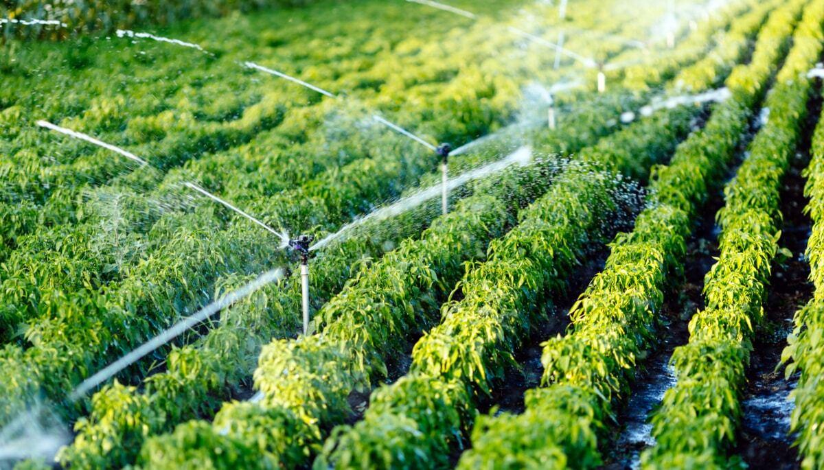 Lavoura em fase de crescimento irrigada por aspersão