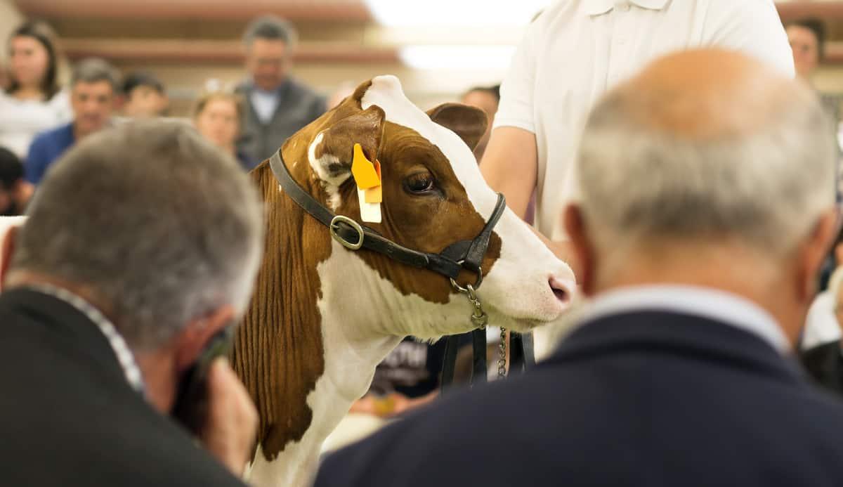 Avaliação de gado durante leilão