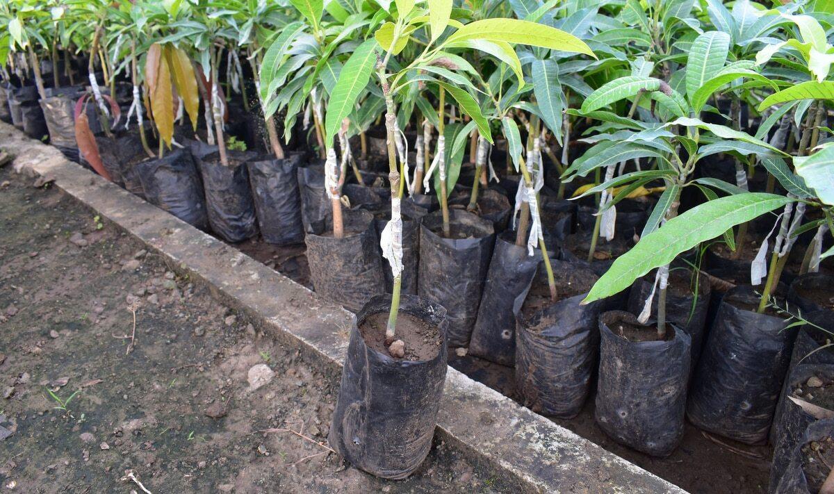 Mudas de manga em sacos prontas para plantio