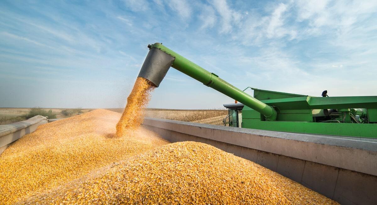 Colheitadeira descarrega milho colhido na lavoura