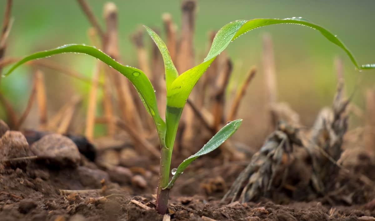 Milho brotando em um solo com sistema de plantio direto
