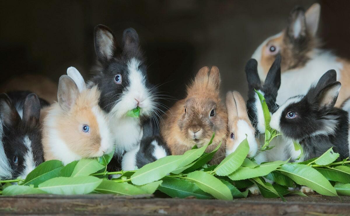 Mini coelhos se alimentando com vegetais
