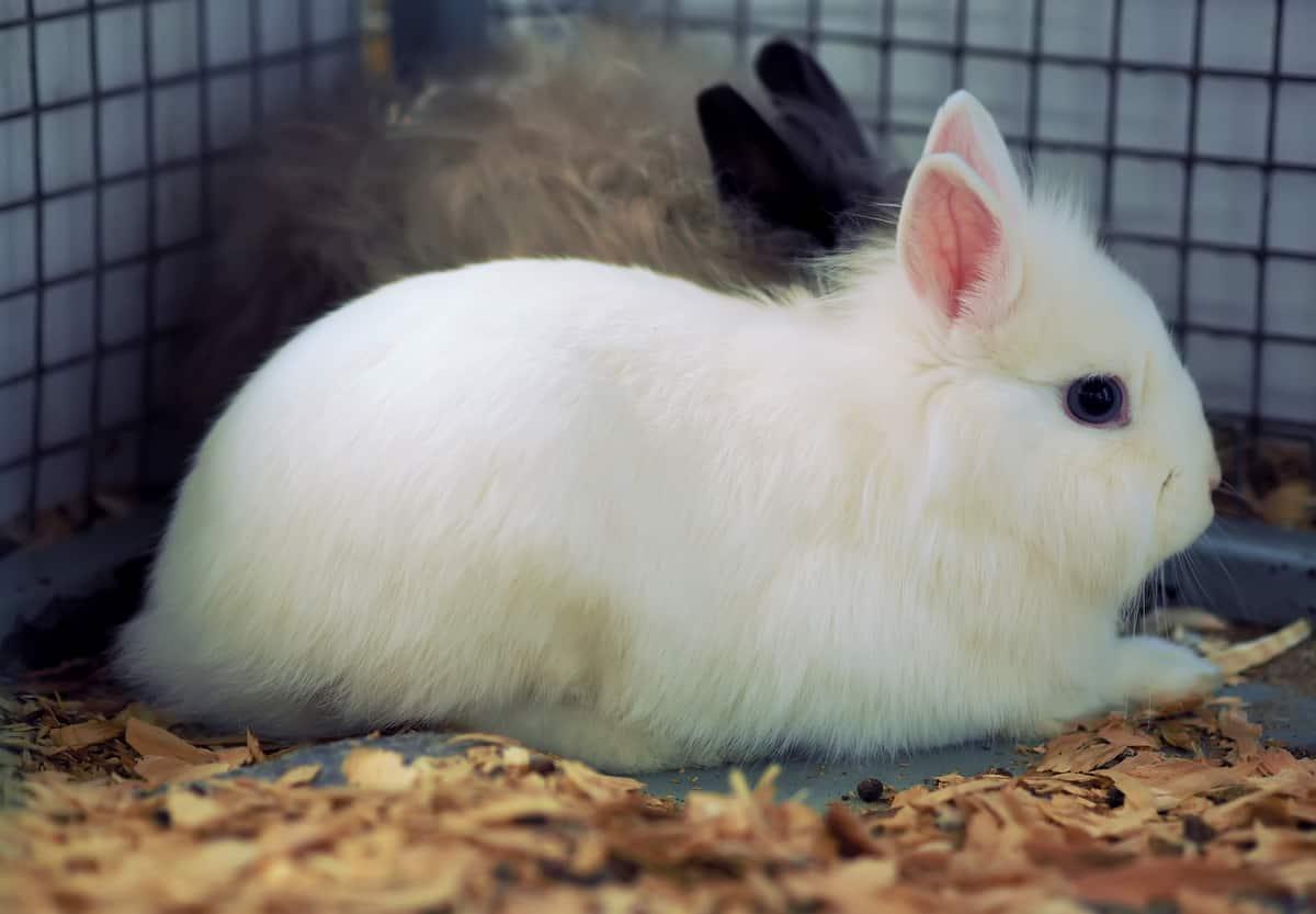 Mini coelhos dentro de uma gaiola com serragem