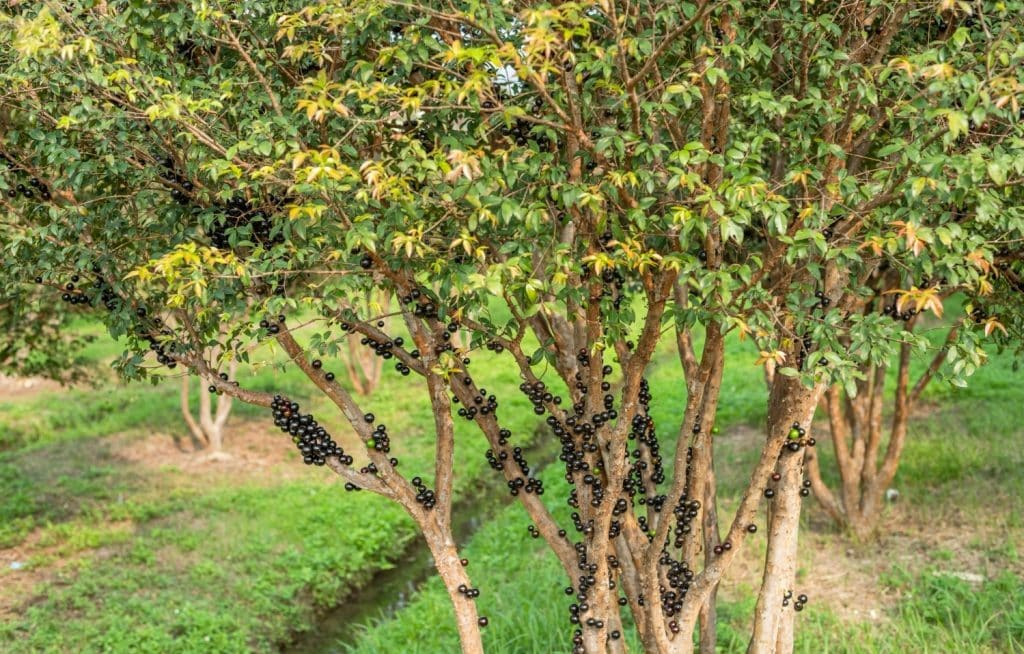 Jabuticabeira produzindo frutos