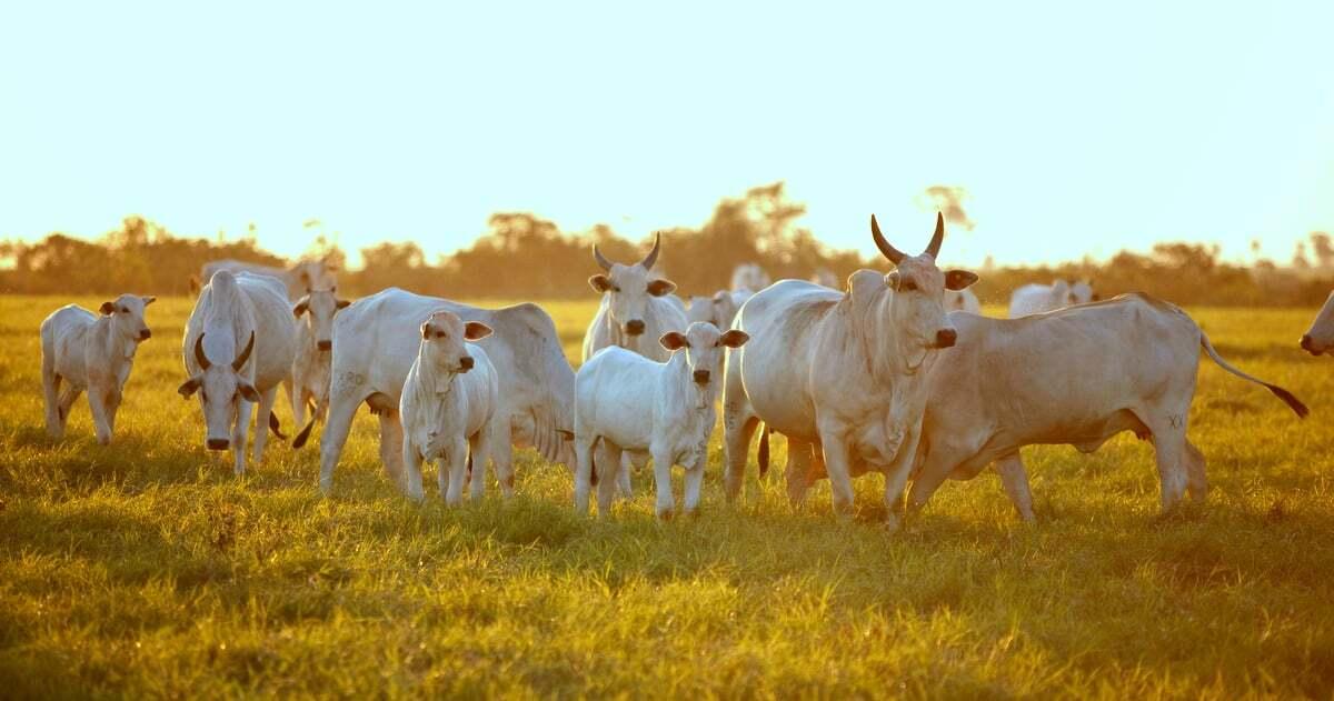 Rebanho de bovinos no pasto