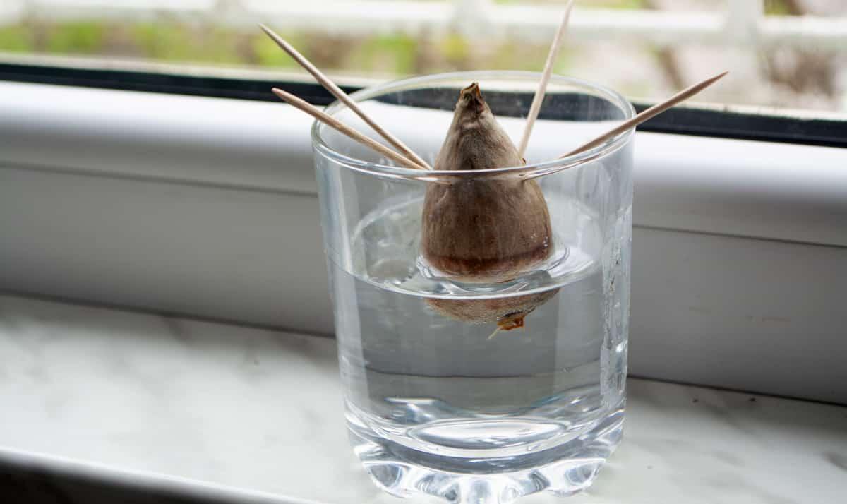 Copo de água com semente de abacate espetada com palitos