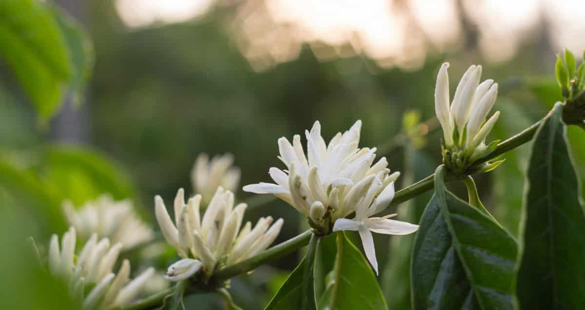 Florada de café conilon