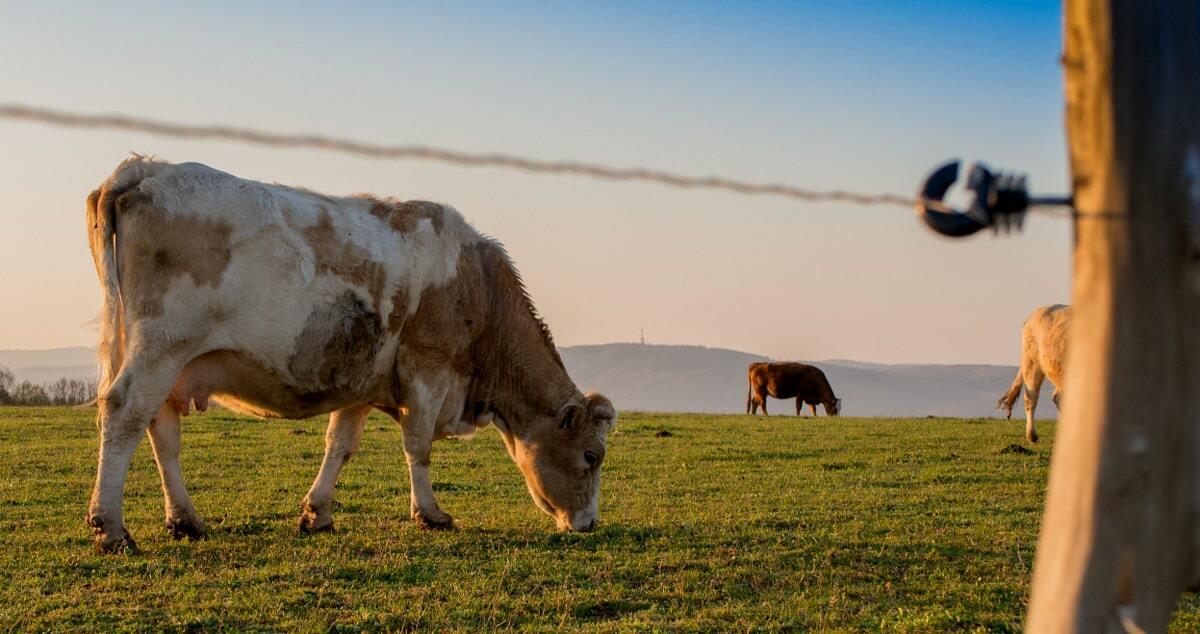 Vaca pastando em área protegida por cerca elétrica.