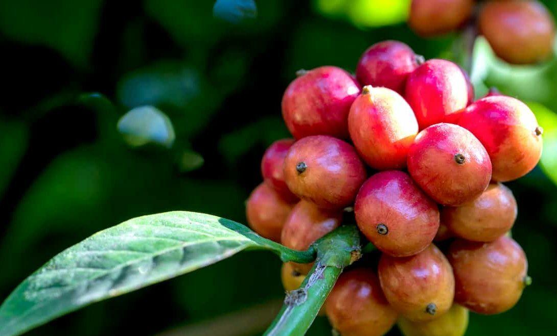 Café conilon: conheça tudo sobre esse cultivo