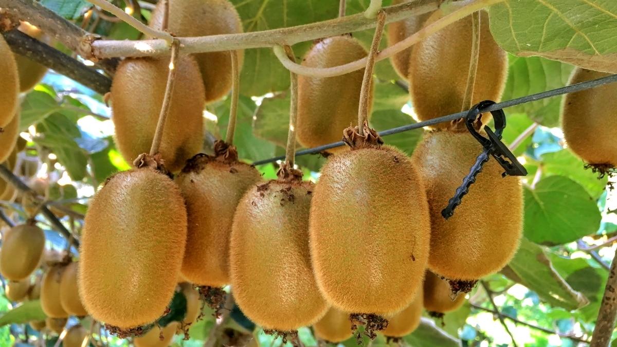 Plantio e colheita dos frutos
