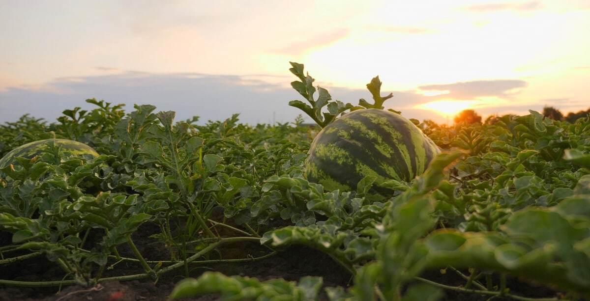 Plantio de melancia no final de tarde