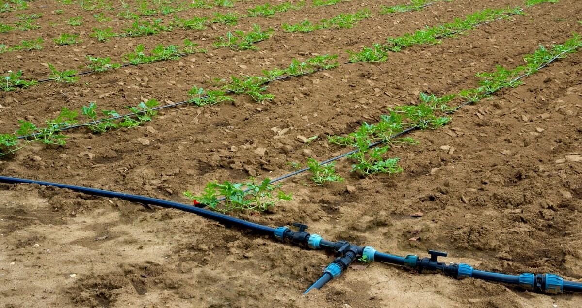 Área de plantio de melancia com irrigação
