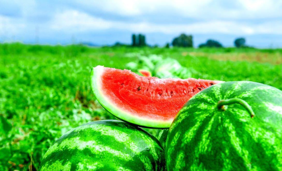 Plantio de melancia: como garantir uma boa produção