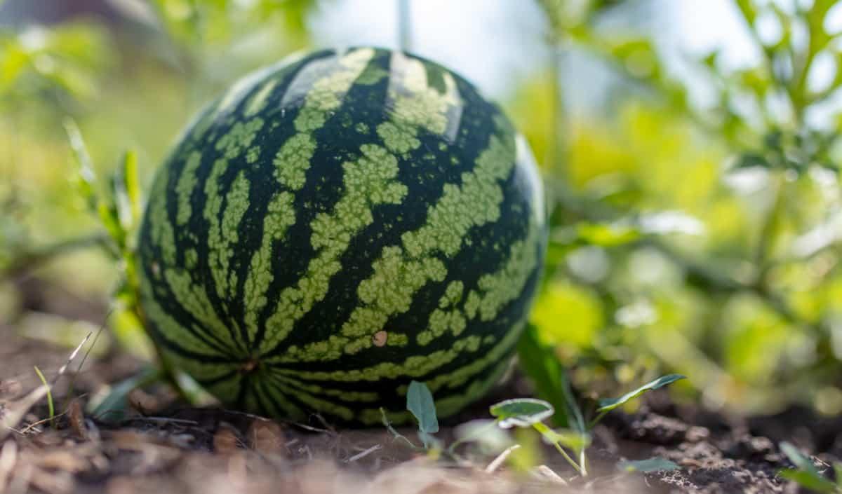 Detalhe do plantio com uma melancia em ponto de colheita