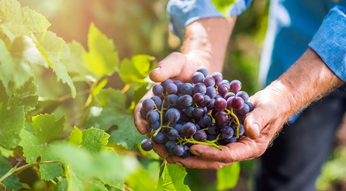 Homem segura com as mãos um cacho de uva