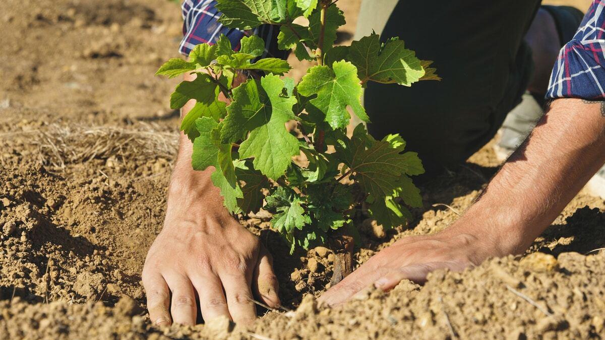 Homem usando as mãos para plantar um pé de uva