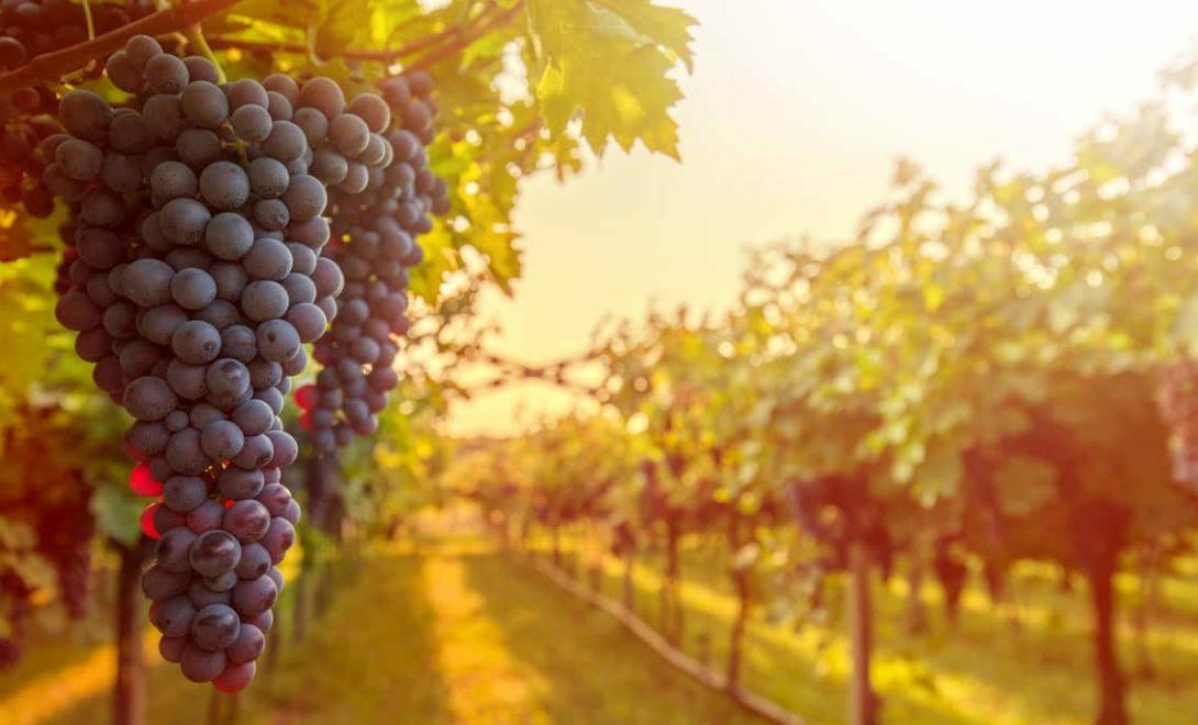 Como plantar um pé de uva no quintal ou em vaso