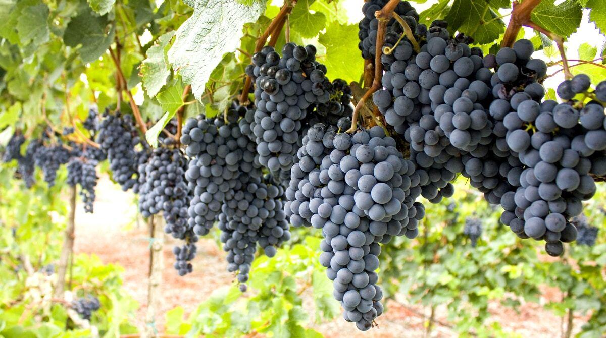 Parreira com cachos de uva