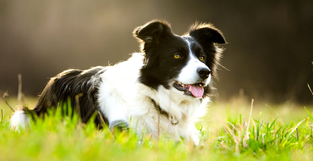Cachorro de pastoreio da raça border collie no campo