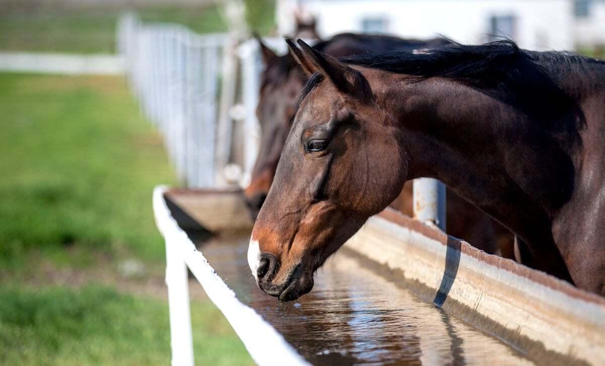 Cavalos bebendo água