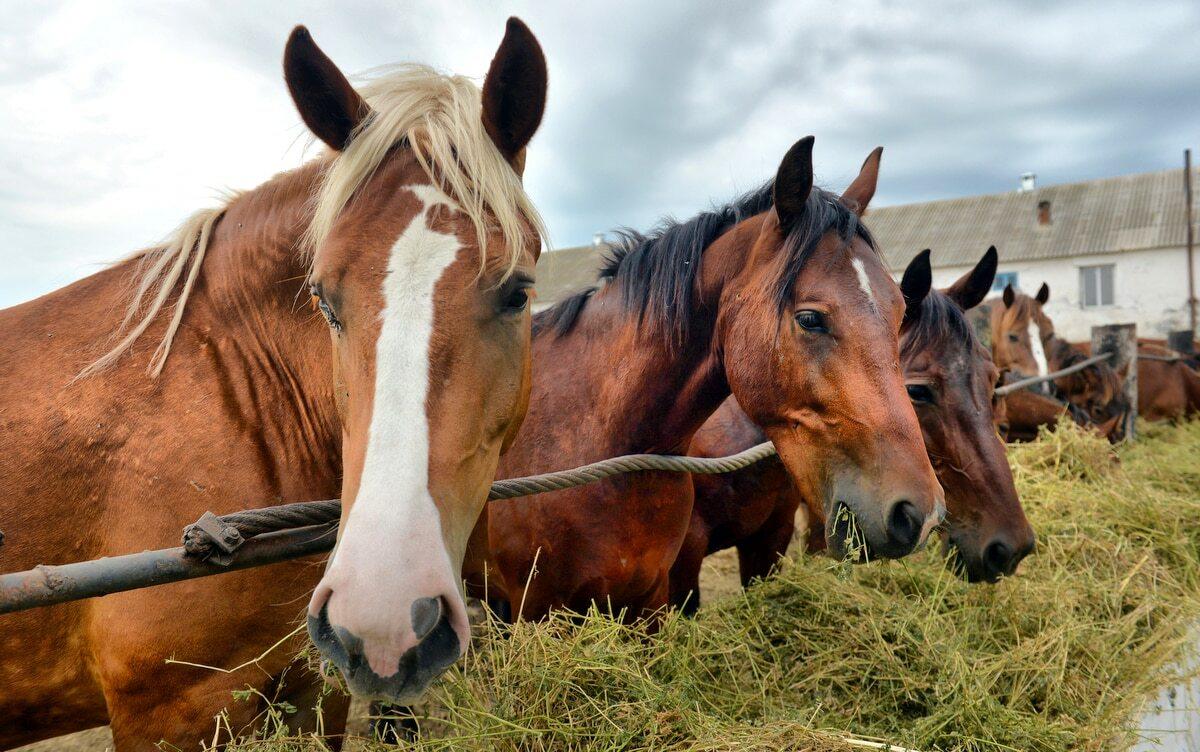 Cavalos alimentados com feno
