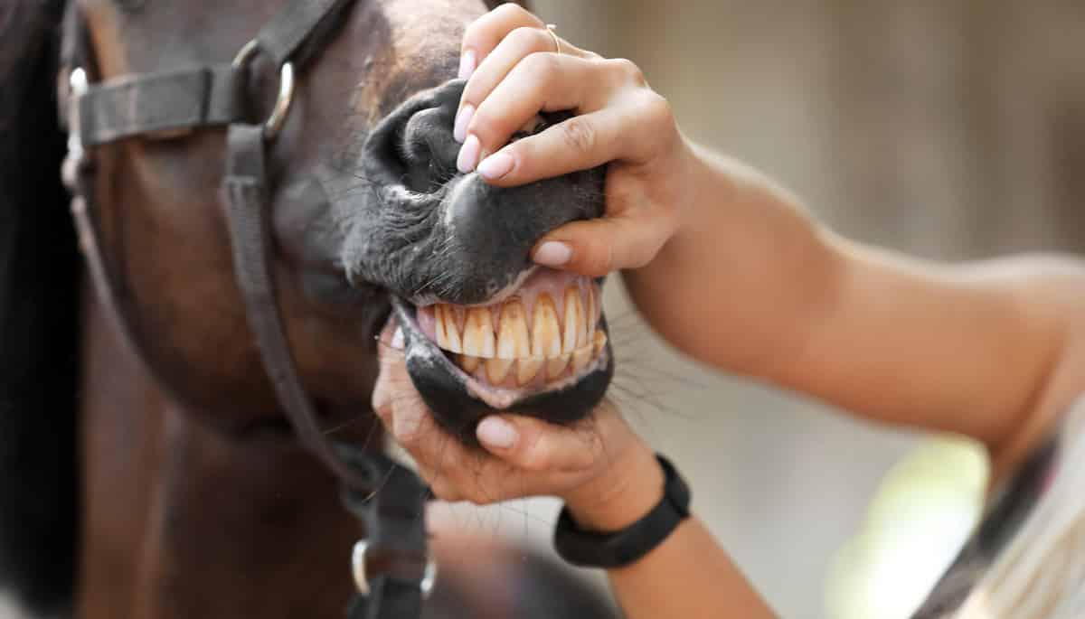 Mulher analisando os dentes de um cavalo