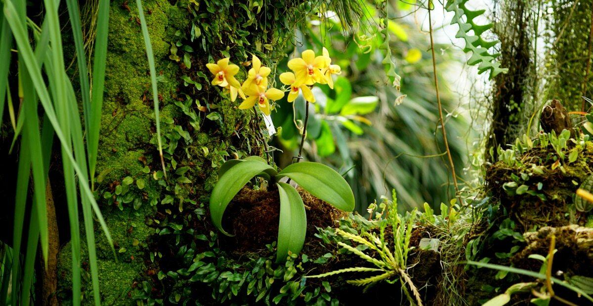 Orquídea cultivada numa árvore