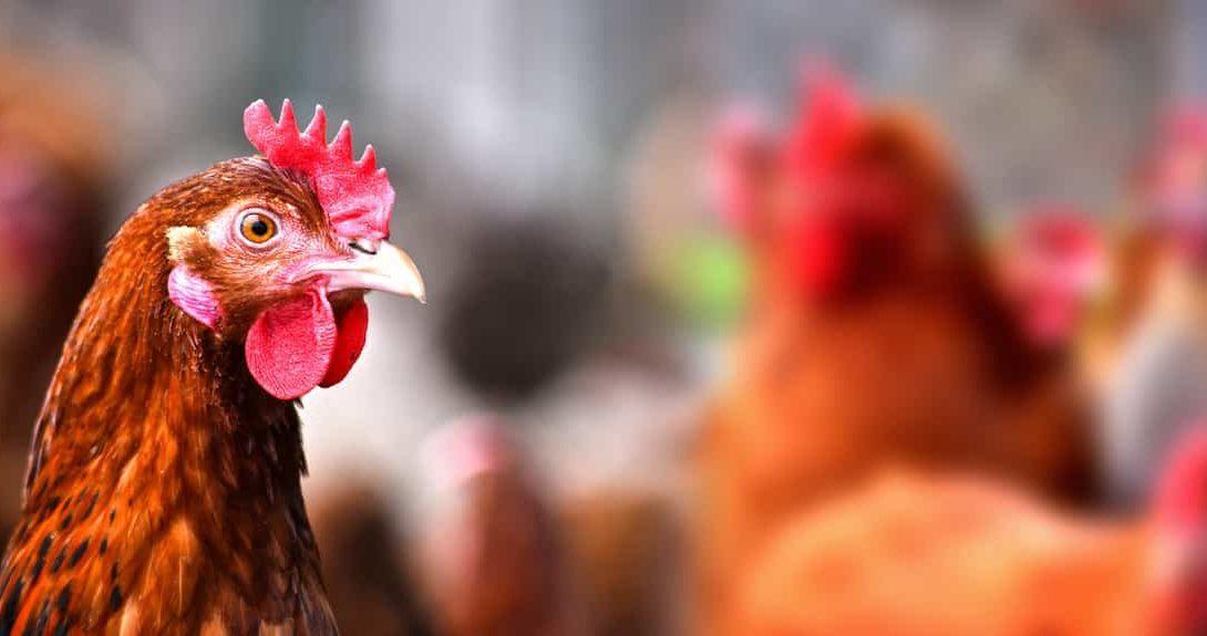 Raças de galinhas mais comuns no Brasil