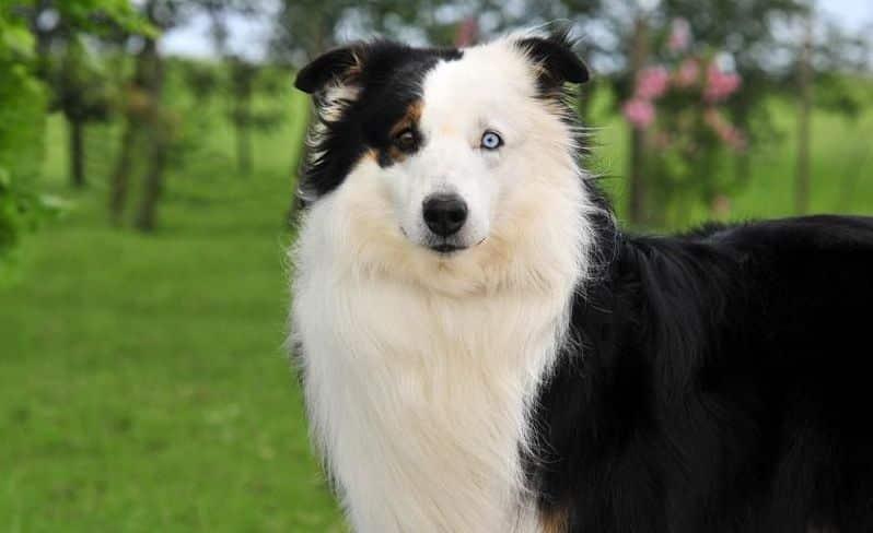Cão de pastoreio da raça ovelheiro-gaúcho