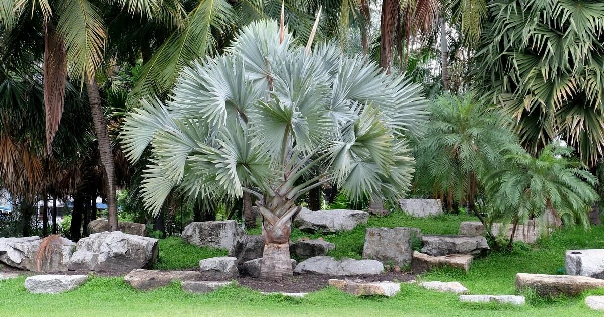 Palmeira azul plantada entre pedras