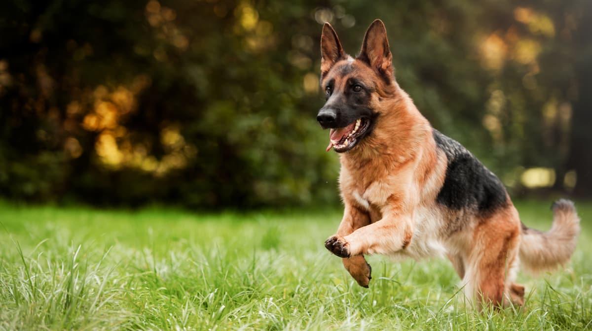 Cão pastor alemão correndo no campo