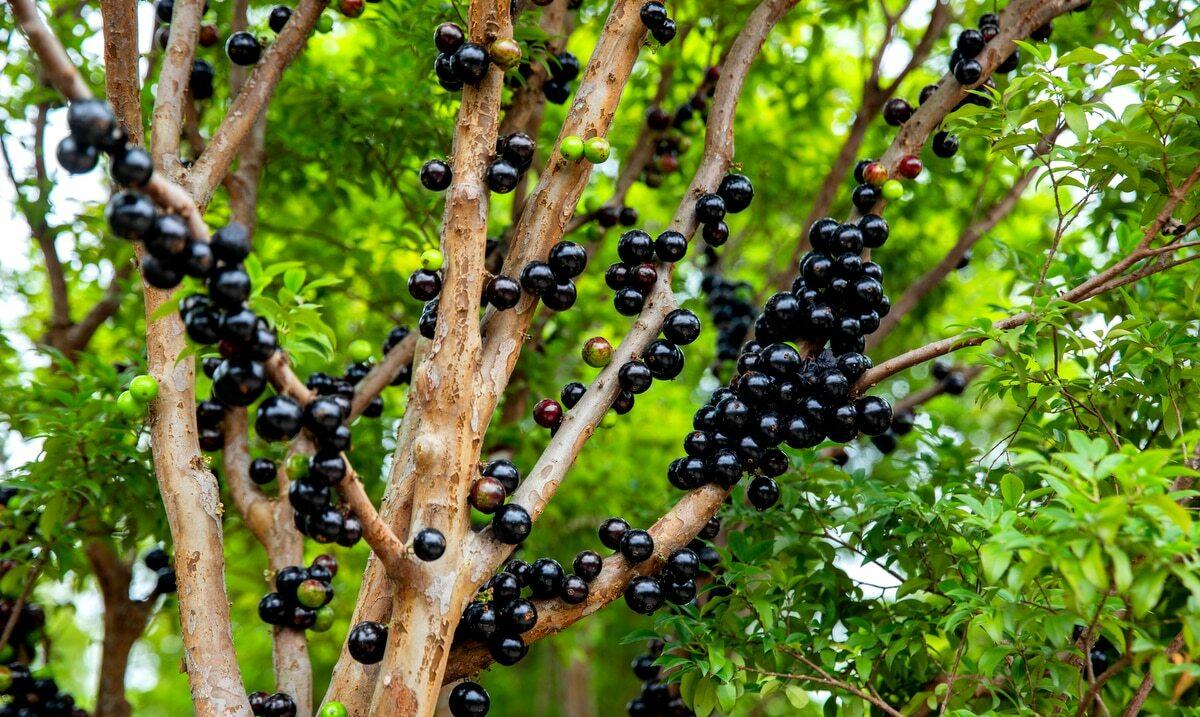 Árvore com jabuticaba madura