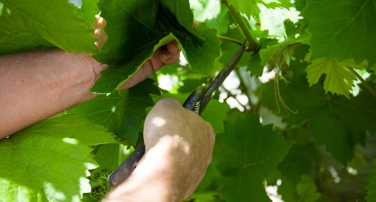 Homem realizando a poda de uma parreira de uva