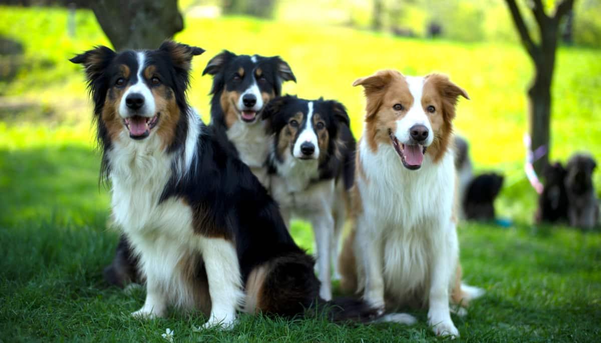 Cachorros border collie no campo