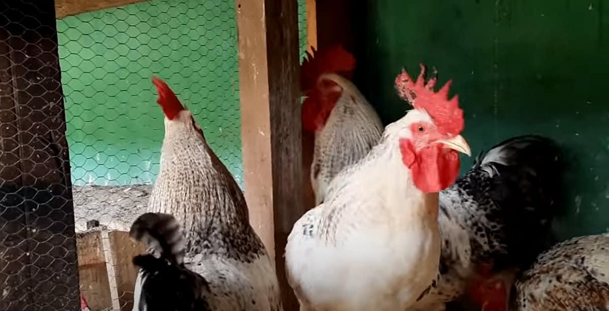 Galo que bota ovos o galinheiro