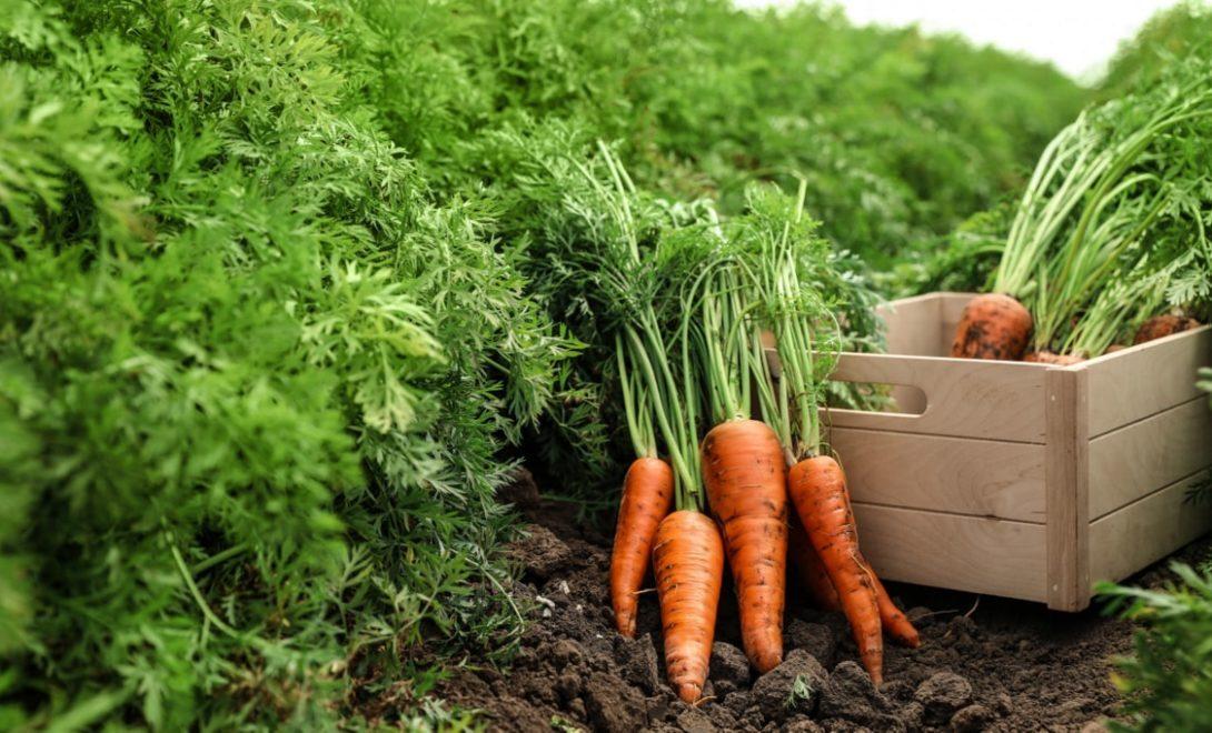 Como plantar cenoura: guia passo-a-passo