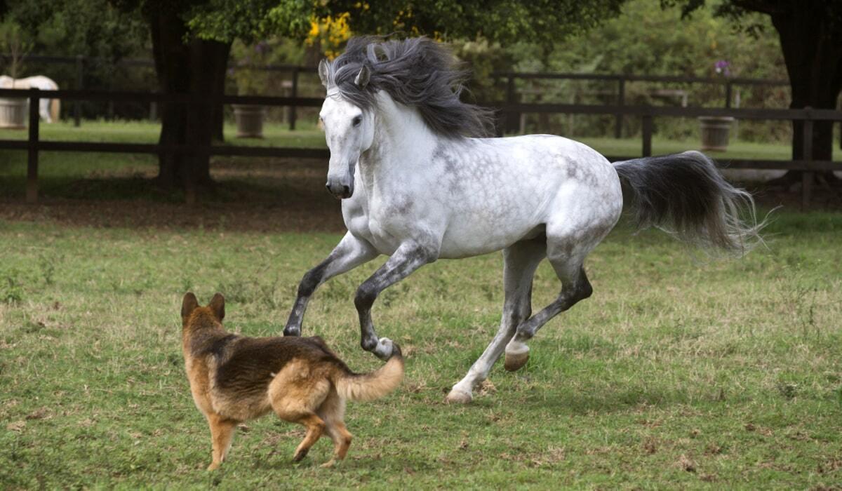 Cavalo lusitano em galope ao lado de um cachorro