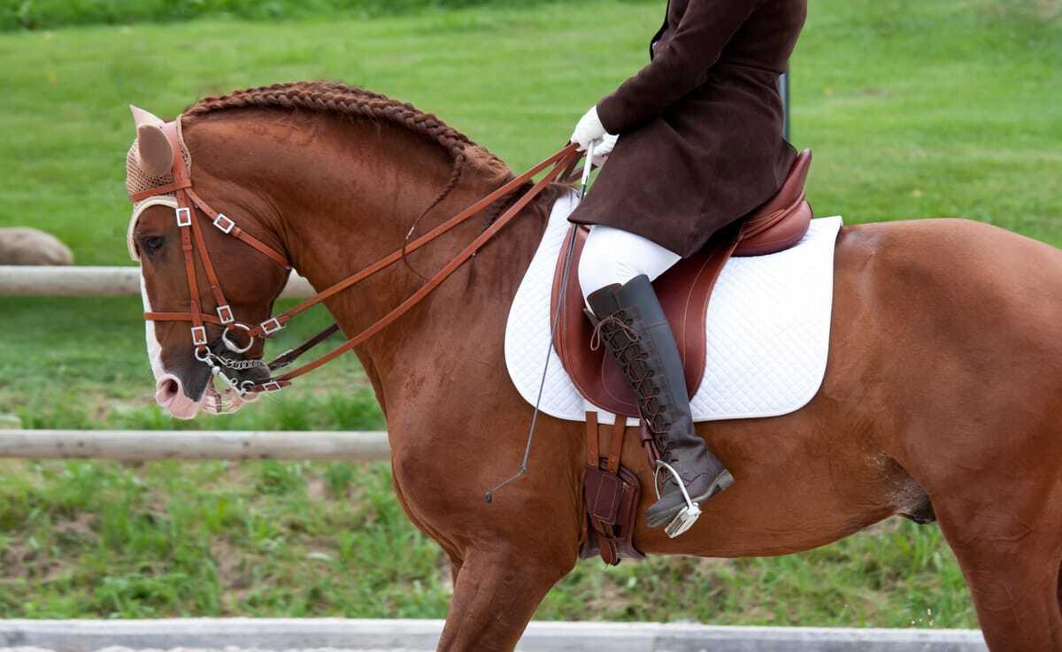 Cavalo lusitano em trabalho de equitação