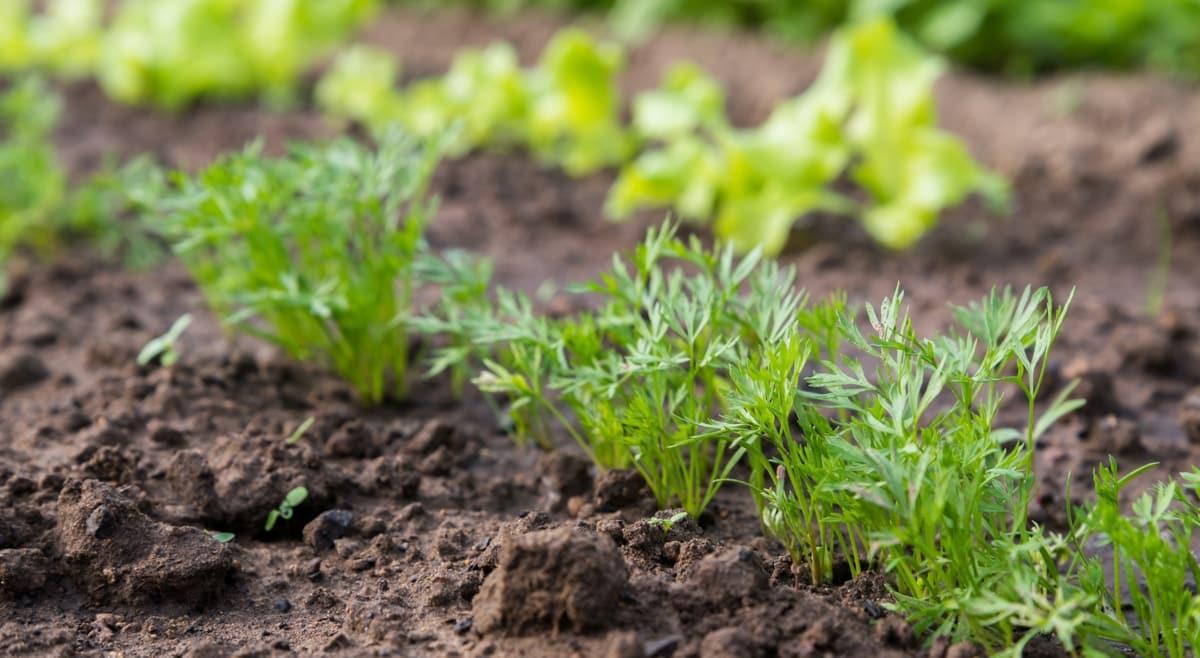 Plantar cenoura com pequenas mudas